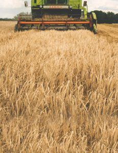 grain being harvested